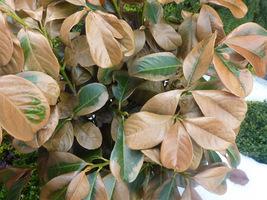 Młode liście laurowiśni ukszkodzone przez wiosenne mrozy. Krzew wypuści młode pędy i ładnie się zazieleni, a martwe liście trzeba obciąć, od razu krzew będzie lepiej wyglądał