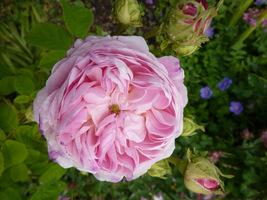Uwielbiam róże, które pachną