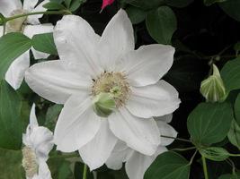 Clematis o białych kwiatach, fot.  Joanna Tworek