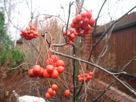 Owoce mają długość 7–9 mm i długo utrzymują się na drzewie
