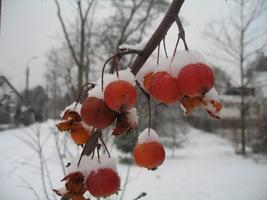 Jabłoń ozdobna (Malus) ma jaskrawe jabłuszka