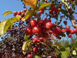 To małe drzewo posiada bardzo ozdobne i trwałe liście, a zimą błyszczy pięknymi owocami