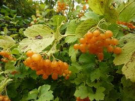 Owoce te zawierają garbniki, są więc niechętnie zjadane przez ptaki