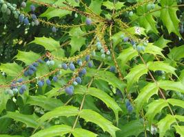 Mahonia to zimozielony krzew liściasty, o prostym pokroju i nieparzystopierzastych, kolczastych liściach. W ogrodzie zimą zdobią ją granatowe, podłużne owoce, które pojawiają się po majowym kwitnieniu
