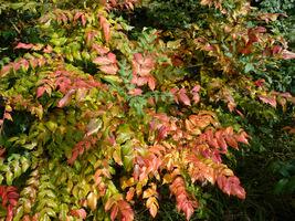 Jesienią przebarwiają się także liście i mienią się kolorami w zimowym ogrodzie