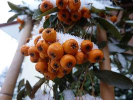 Ogniki mają kwiaty białe i pachnące, a owoce pomarańczowe, żółte lub czerwone, zebrane w baldachogrona