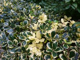Ostrokrzew o biało-zielonych liściach