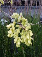 Leszczynowiec (Corylopsis) to krzew o dzwonkowatych, żółtych kwiatach. Kwitnie wcześnie i roztacza wokół wspaniały zapach