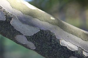 U platana szczególną ozdobą jest także łuszcząca się kora oraz zwisające na długich szypułkach owoce