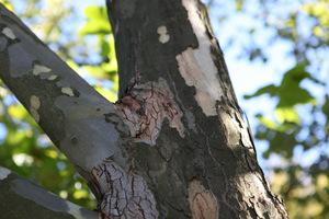 Platan klonolistny należy do drzew o dużych rozmiarach