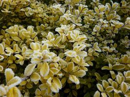 """Ilex crenata """"Golden Gem"""" (ostrokrzew karbowanolistny) - zimozielony krzew podobny do bukszpanu"""