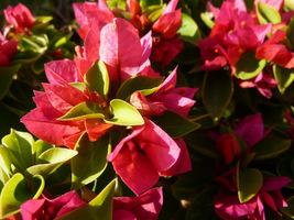 Najczęściej występujące odmiany są różowofioletowe