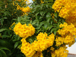 Tecoma stans to pnącze lub małe drzewo o atrakcyjnych, żółtych kwiatach w kształcie trąbek