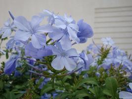 Ołownik (Plumbago auriculata) jest krzewem lub pnączem o długich, drewniejących pędach i jasnoniebieskich kwiatach