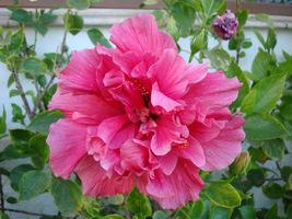 Hibiskus o różowych i pełnych kwiatach