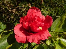 Hibiskus w tradycyjnych barwach, tylko pełny kwiat