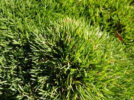 Egipski trawnik