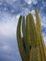 Nie zabrakło strzelistych cereusów (Cereus peruvianus)