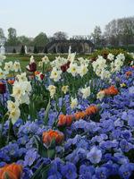 Niebieskie bratki, białe narcyzy i pomarańczowe tulipany