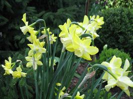 Bladożółte narcyzy w moim ogrodzie