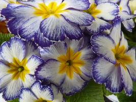 Pierwiosnek bezłodygowy (Primula acaulis)