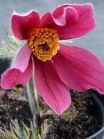 Różowa sasanka