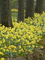 Pierwsze wiosenne kwiaty rosną na trawnikach, albo przebijają się nieśmiało w ściółce