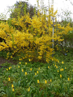 Forsycja znakomicie się komponuje z żółtymi tulipanami