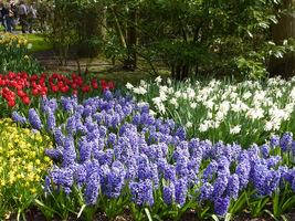 Kwitnące pola roślin cebulowych dają dobre efekty
