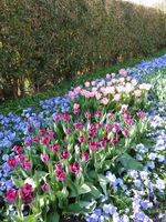 Piękna wiosenna rabata cebulowa w stonowanej kolorystyce