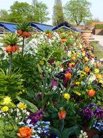 Świetna mieszanka: kwiaty cebulowe, omiegi i dwuletnie niezapominajki