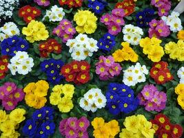 Primula acaulis (pierwiosnek bezłodygowy) - mieszanka kolorów