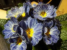 """Primula """"Zebra Blue"""""""