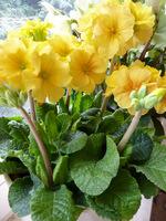"""Primula elatior """"Gessi Pacific Gold"""""""
