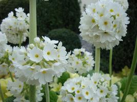 "Primula denticulata ""Alba"""