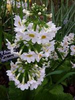 """Primula japonica """"Postford White"""""""