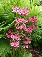 "Primula japonica ""Miller's Crimson"""