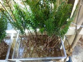 Korzenie przed sadzeniem moczymy w wodzie