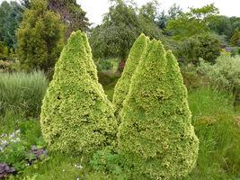 """Picea glauca """"Rainbow's End"""" - stożkowaty świerk biały o złocistych przyrostach"""