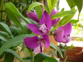Wspaniała roślina o egzotycznych, kolorowych kwiatach i pięknym zimozielonym ulistnieniu - Polygala myrtifolia (krzyżownica)