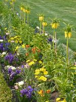 Wiosenna rabata hiacyntów z omiegami, lakami pachnącymi, bratkami, tulipanami i cesarską koroną