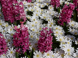 """Hiacynty i białe Anemone blanda """"White Splendour"""""""