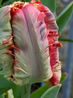 Tulipan z grupy papuzich