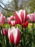 Tulipany dwubarwne