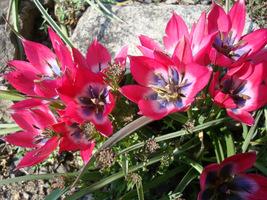 "Tulipa linifolia ""Little Beauty"" - tulipan botaniczny"