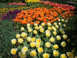 Tulipany w holenderskich ogrodach Keukenhof