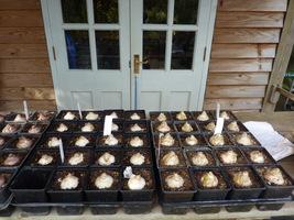Hiacynty posadzone jesienią w doniczki, dzięki pędzeniu zakwitną wcześniej