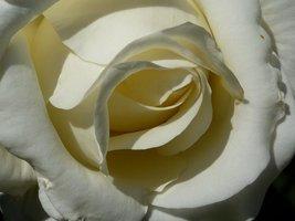 "Rosa ""Chopin"""