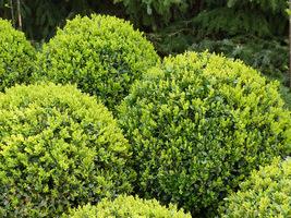 Bukszpany najpiękniej wyglądają  w trakcie tworzenia nowych przyrostów wiosną