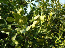 Objawy występowania wzdymacza bukszpanowego (liście zwijają się jak główki kapusty)